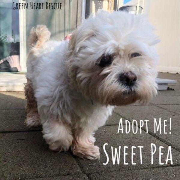 Shih Tzu Dog For Adoption In Star Idaho Sweet Pea In Star