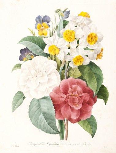 REDOUTE, P.J. Bouquet de Camelias Narcisses et Pensees. (Daffodils & Camilias)  Original engraving with colour as published 19th c. #bouquet #flora
