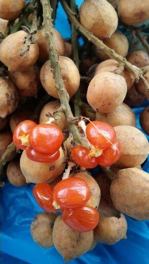 Buah jentik - Baccaurea polyneura  -   Phyllanthaceae