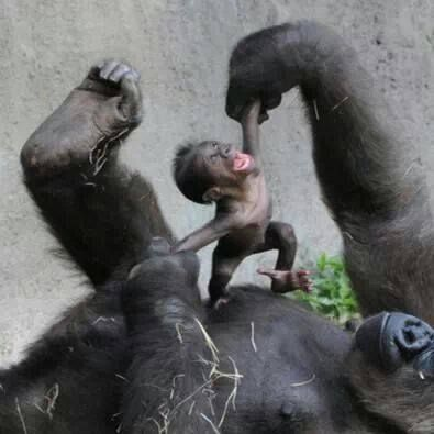 Baby gorilla and mamma playing...