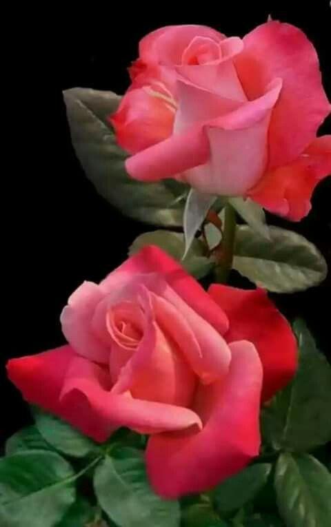 صور ورد و صور زهور من أجمل و أندر الورود من جميع أنحاء العالم مع خلفيات Hd بفبوف Beautiful Rose Flowers Rose Flower Hybrid Tea Roses
