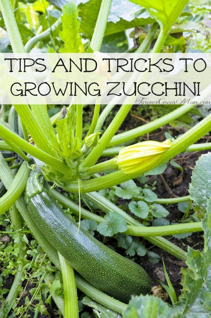 Tips And Tricks To Growing Zucchini In Your Garden Gardening Growing Zucchini Vegetable Garden Tips Growing Vegetables