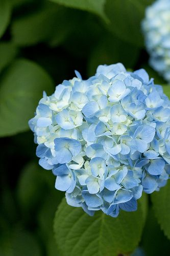 I want to dig up and get rid of big ugly bush at the corner of my house at front/east side of house and plant a large hydrangea bush. I love these light blue and white hydrangeas. They remind me of my granny's when she was still alive and had a large beautiful garden.