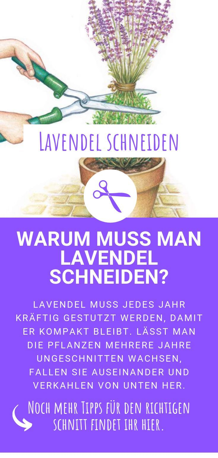 Lavendel schneiden: Warum muss man Lavendel schneiden