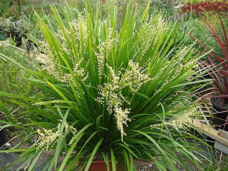 Lomandra Longifolia Breeze Lomandra Australian Plants Unusual Plants