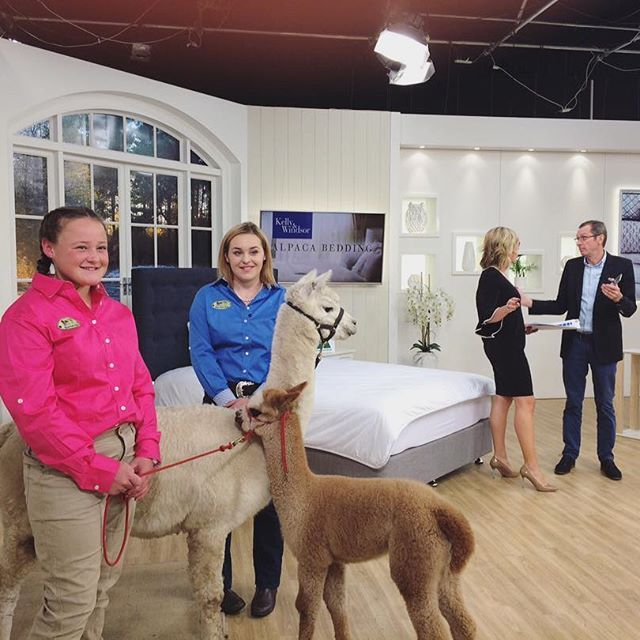 It's almost show time! Tune in to meet these gorgeous alpacas on the Kelly and Windsor show in a few minutes