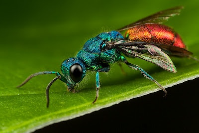 This strikingly beautiful insect is the Ruby-tailed Wasp (Chrysis ignita), a species of Cuckoo Wasp. The metallic greens, blues, bronzes, and violet hues become even more pronounced in the sunlight.The wasp is harmless and lacks any sting. To protect themselves they curl up into a tight ball and display their bright red abdomen.