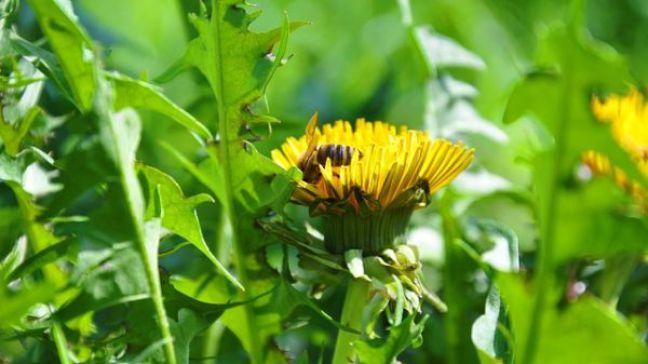 Beneficiile papadiei, planta miraculoasa pentru ficat si nu numai