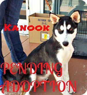 Cushing, OK - Husky Mix. Meet Kanook, a puppy for adoption. http://www.adoptapet.com/pet/16876196-cushing-oklahoma-husky-mix