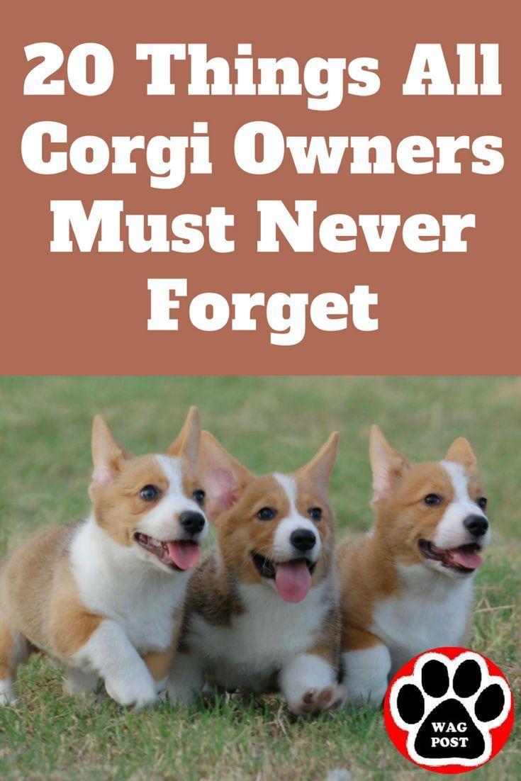 20 Things All Corgi Owners Must Never Forget Corgi Facts Corgi