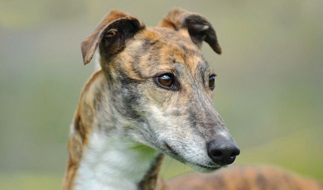 Greyhound Breed Information. Beautiful dogs inside and out.
