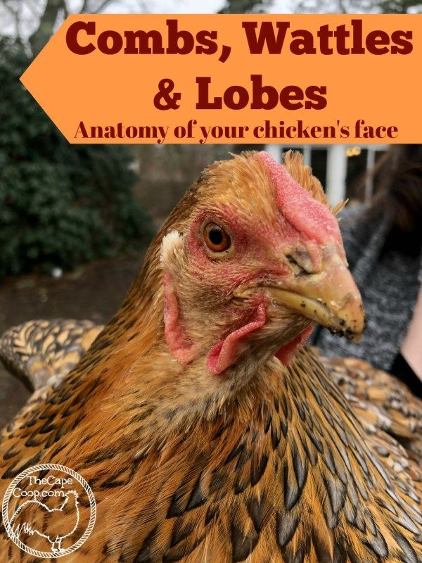 Combs, Wattles & Lobes - The Cape Coop