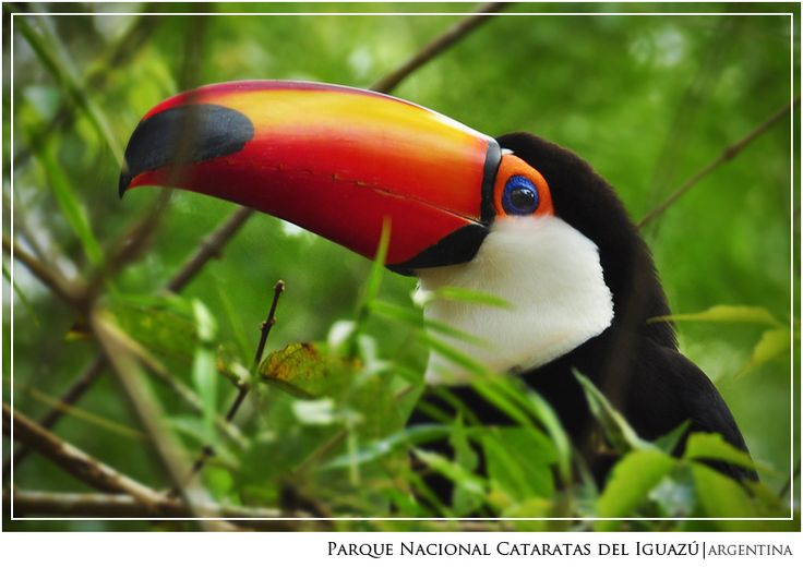 Tucan en el Parque Nacional Iguazu - Puerto Iguazu, Misiones
