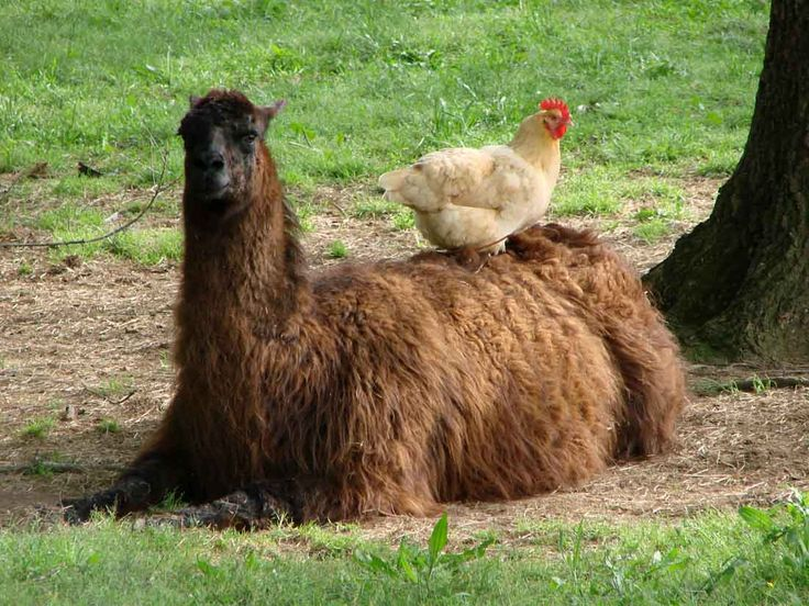 29 Best Images About Llamas~ On Pinterest