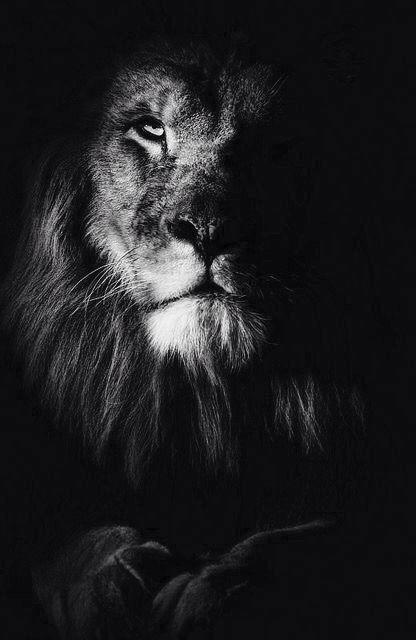 Lions look so regal.