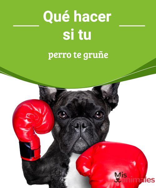Qué Hacer si tu Perro te Gruñe Los gruñidos son parte del sistema de comunicación del perro, así que no te desesperes y lee qué hacer si tu perro te gruñe.