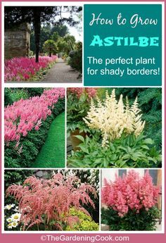 Astilbe is the perfect flowering plant for shady garden spots. It has plume like flowers that cluster over the top of delicate leaves and add so much to the surrounding shade plants. see how to grow it on thegardeningcook.com
