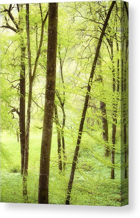 Green Spring Canvas Print for sale. Wonderful green trees in the forest on a beautiful spring day, soft and bright light. The image gets printed on one of our premium canvases and then stretched on a wooden frame, click through and check out your options. 30 days money back guarantee. Matthias Hauser - Art for your Home Decor and Interior Design.