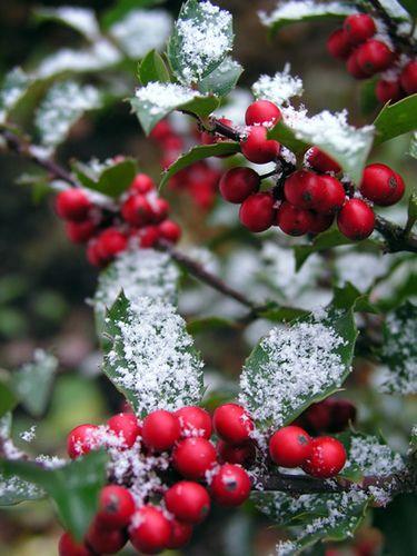 Holly Berry - snow