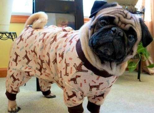 Pug Dog wearing pajamas