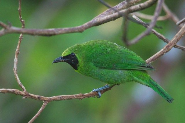 Burung Cucak Ijo Kalimantan (singaporebirds.com)