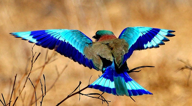 Indian Roller    nature blends blues for drama!! It looks more like nature contrasts blues.