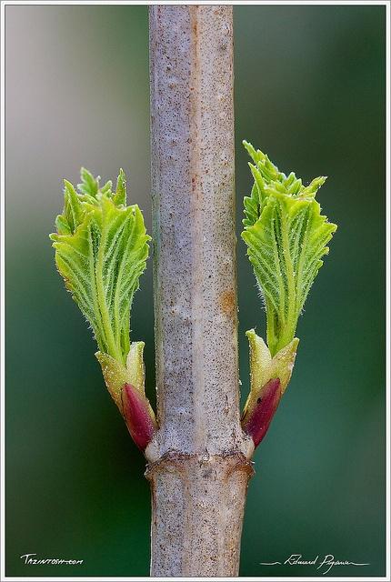 Boule de neige viorne obier viburnum opulus v i o r - Boule de neige plante ...