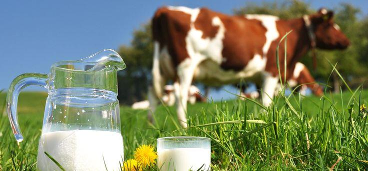 Benefits Of Cow Milk According To Ayurveda