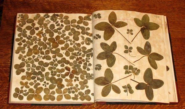 good luckClovers Collection, Clovers Scrapbook, Carlson Start, Four Leaf Clover, Alda Carlson, Press Clovers, 4 Leaf Clovers, Clovers Art, Arrange Collection