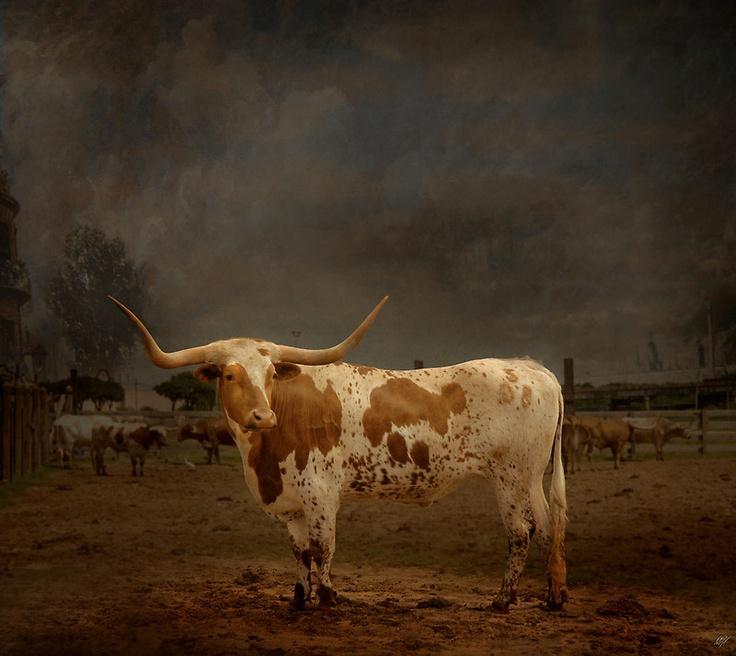 """""""Texas Long Horn""""  Paul Vanzella"""