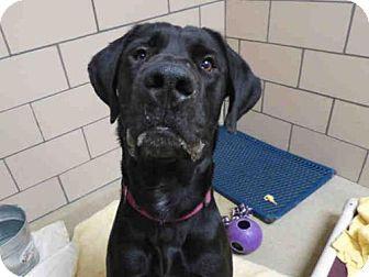Fort Wayne, IN - Great Dane Mix. Meet LUCA, a dog for adoption. http://www.adoptapet.com/pet/17460137-fort-wayne-indiana-great-dane-mix