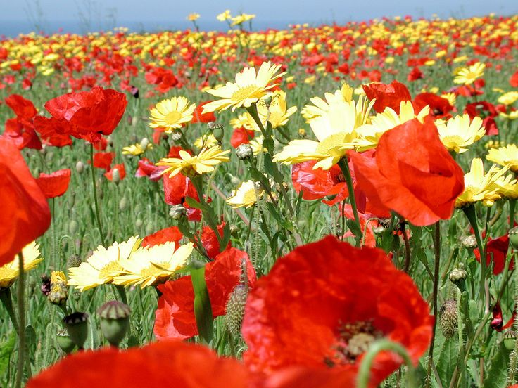 .Flower Pl, Red Poppies, Poppies Fields, Daisies, Poppies Sunflowers, Gardens, Camps, Memories, Cornwall