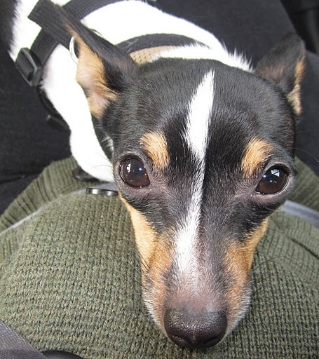 My Toy Fox Terrier, Tank