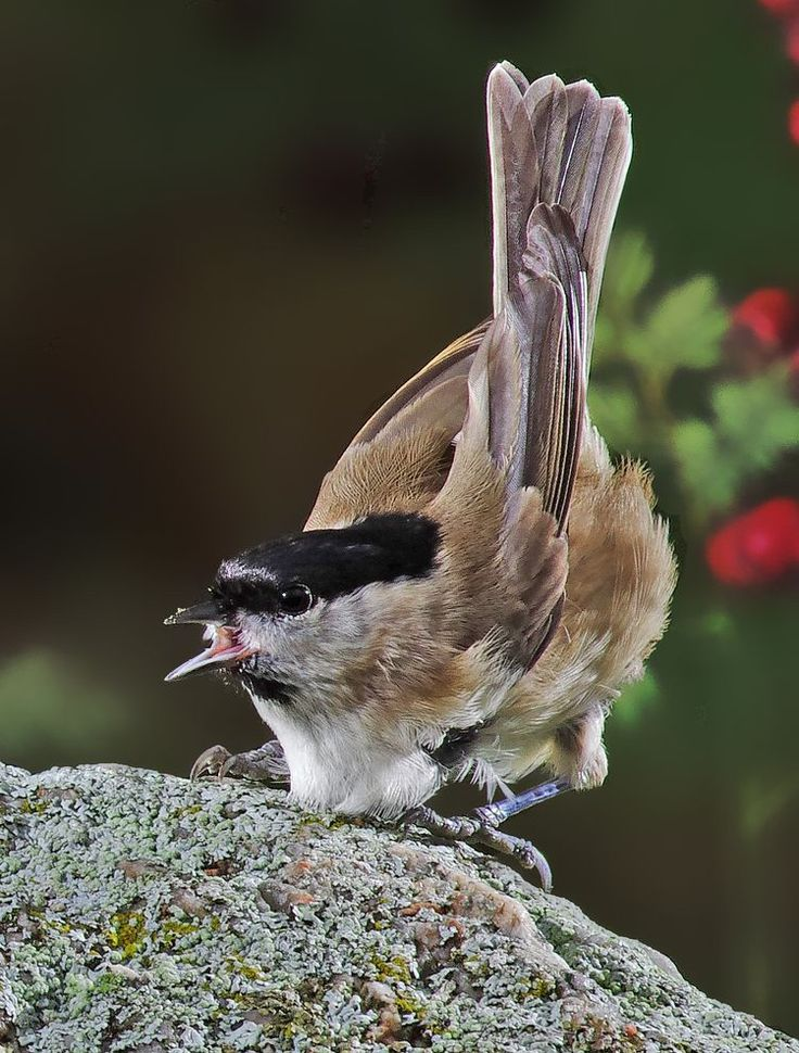 Nominate race palustris: Black cap and nape with a blue sheen visible at close quarters. The black 'bib' below the bill is rather small; the cheeks are white, turning dusky brown on the ear coverts. The upperparts, tail and wings are greyish-brown, with slightly paler fringes to the tertials. The underparts are off-white with a buff or brown tinge strongest on the flanks and undertail coverts. The bill is black and the legs dark grey. Juveniles are very similar to adults, but with a duller…