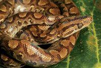 Boa constrictora, depredadora de pequeños mamíferos.