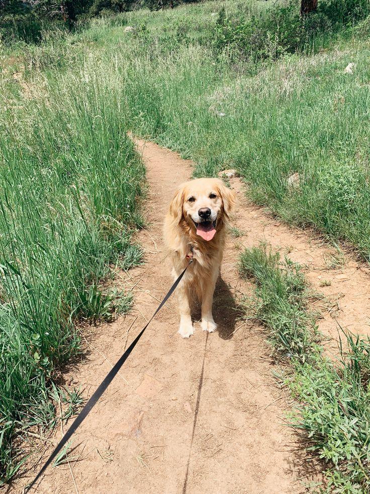 Golden Retriever Hiking Through The Rocky Mountains Of Colorado
