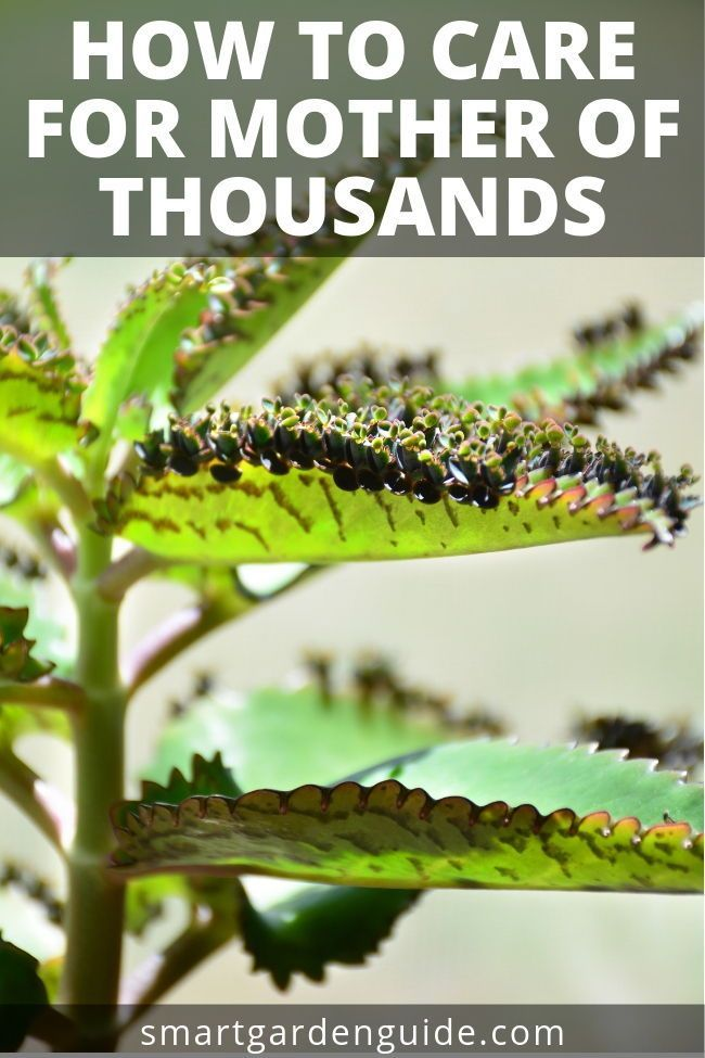 How To Care For A Mother Of Thousands Plant Mexican Hat Plant Alligator Plant This Amazing Houseplant I Mother Of Thousands Plant Plants Mexican Hat Plant