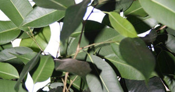 Vermes brancos na terra ao redor de uma planta fícus caseira. Em algum momento, você percebe que sua planta fícus vive rodeada de insetos parecidos com mosquitos e vermes esbranquiçados (na verdade são larvas de mosquitos fúngicos) na terra do vaso. Sua primeira reação pode ser a de jogar a planta fora, mas não o faça. Essas pestes podem dar uma tremenda dor de cabeça para o tratamento de suas plantas, mas a ...