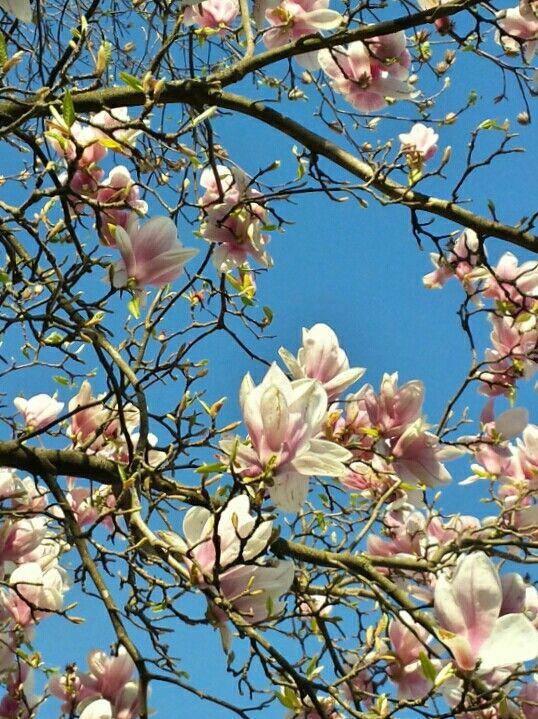 Magnolia fiori