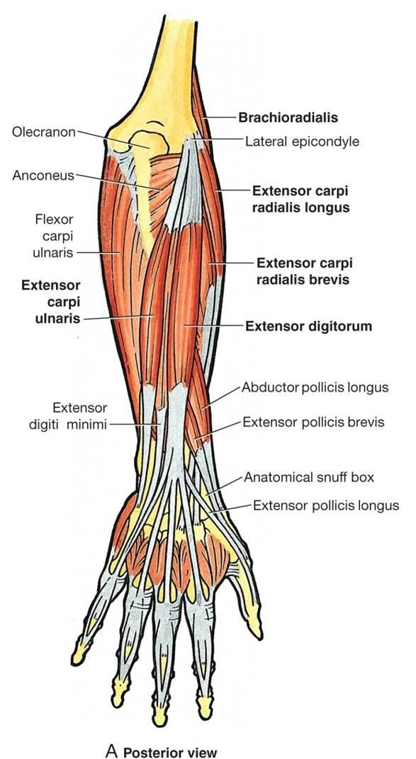 In human anatomy, the extensor indicis [proprius] is a narrow, elongated skeletal muscle in the deep layer of the dorsal forearm, placed medial to, and parallel with, the extensor pollicis longus. Description from imgarcade.com. I searched for this on bing.com/images