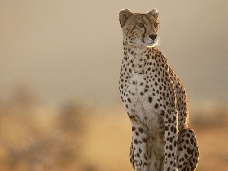 Cheetah in South Africa on Safari. #Cheetah #AfricaSafari
