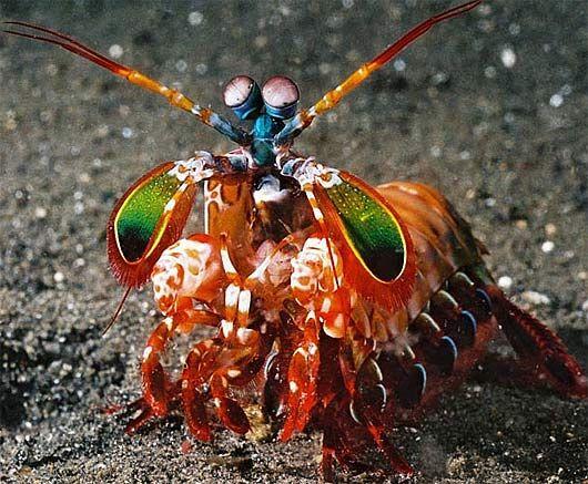 Mantis Shrimp - Deadly Clown Colored Creature
