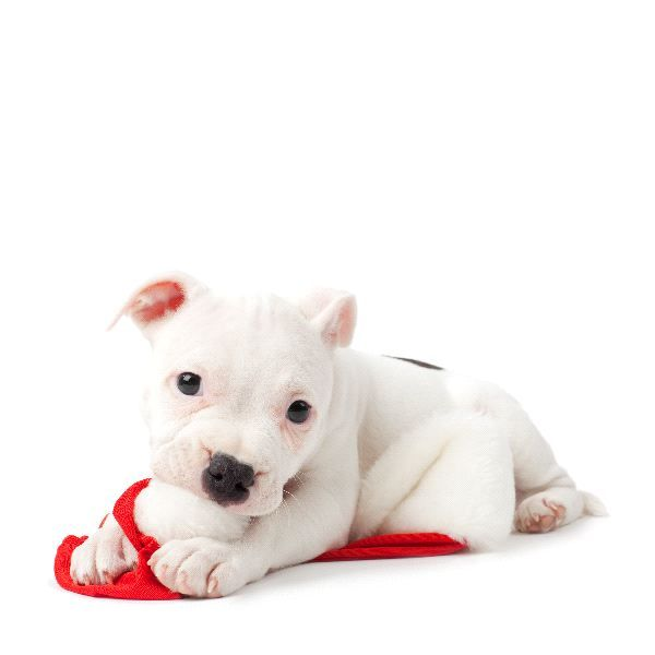 White #Pitbull #puppy
