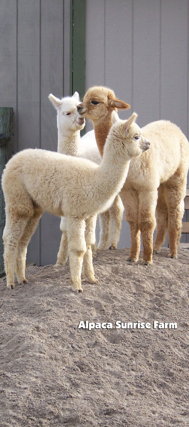 ALPACA CRIA. Alpaca Sunrise Farm is a full-service Alpaca farm since 1998 • Alpaca sales • breeding • boarding • Alpaca raw fiber, yarn, roving sales for knitters, crocheters, weavers and fiber artists. www.AlpacaSunrise... #alpaca #alpacas