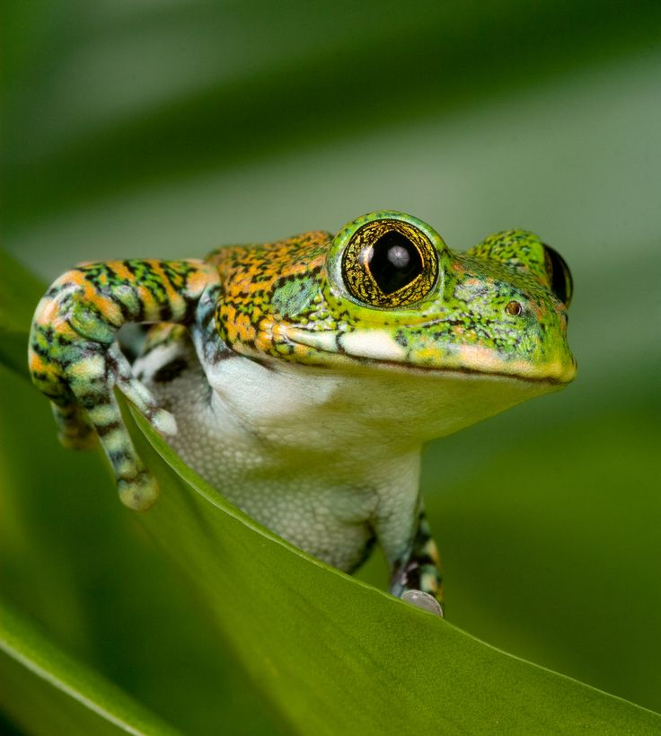 Peacock Tree Frog. Often referred to as a Big-Eyed tree frog, or Amani Forest Tree Frog.