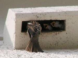 Grundsätzliche Tipps zu Nisthilfen und Quartieren für Gebäude bewohnende Vogel- und FledermausartenTraufkasten mit Einflug als Ersatzmaßnahme für verlorene Nistplätze unter dem Dach. Unauffällige Lösung, die sich an angestammten Nistplätzen optimal orientiert. Foto: Mathias TantauVogel- und Fledermausarten, die Gebäude besiedeln, sind meist sehr standorttreu. Sie kehren immer an die gleichen Nist- oder Schlafplätze zurück. Deshalb ist es am besten, wenn ihre angestammten Nist- und…