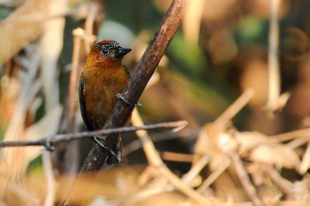 Pica-pau-anão-vermelho ( Picumnus rufiventris)