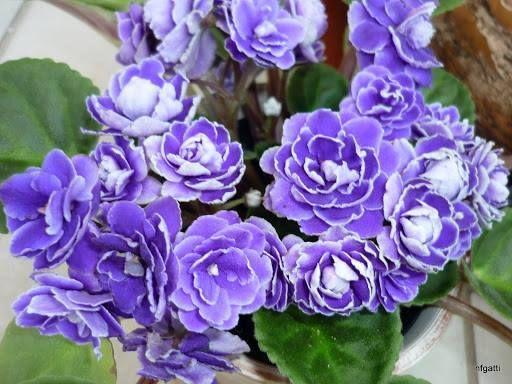 violeta africana dobrada