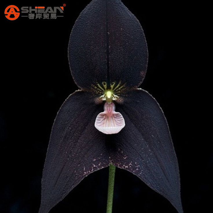 Compare Prices on Black Orchid Flower- Online Shopping/Buy Low ...
