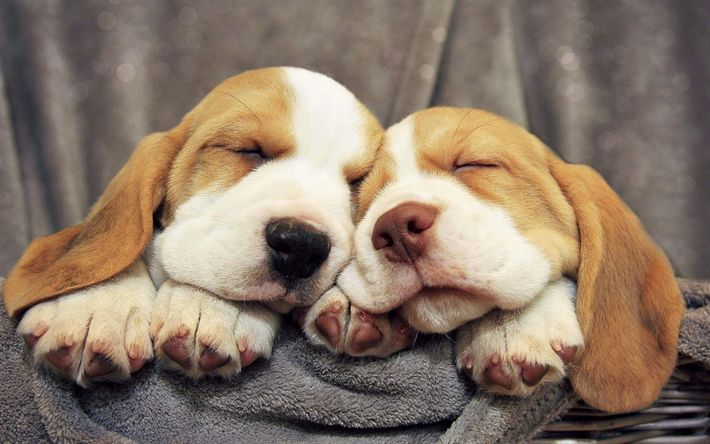 Download wallpapers Pocket Beagle, 4k, sleeping dogs, pets, cute animals, dogs, Pocket Beagle Dog
